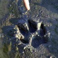 Pootafdruk van de Waaslandwolf