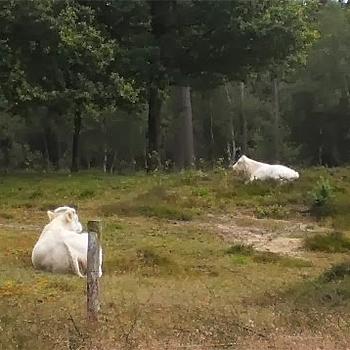 Twee witte ossen